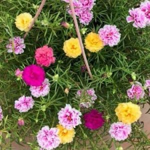 hạt giống hoa mười giờ