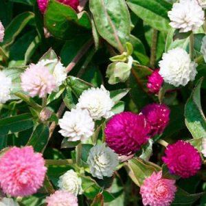 hạt giống hoa cúc bách nhật