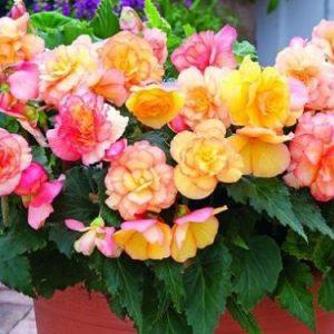 hạt giống hoa thu hải đường