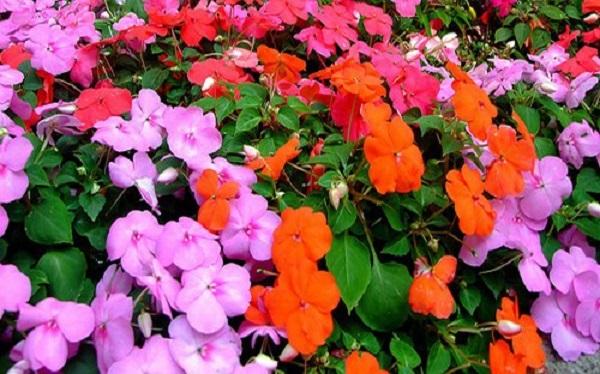 giống hoa mai địa thảo đơn nhiều màu