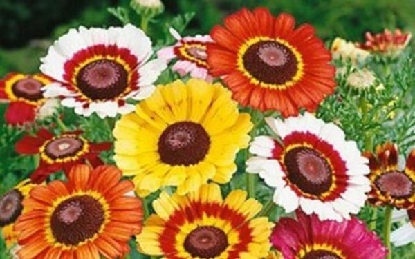giống hoa cúc chi nhiều màu