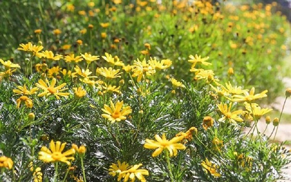 giống hoa cúc thân gỗ