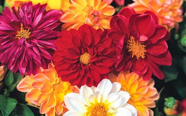 hoa thược dược kép lùn nhiều màu