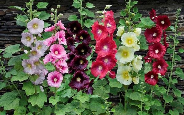 giống hoa mãn đình hồng nhiều màu