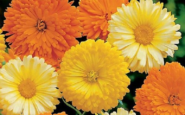 giống hoa cúc susi