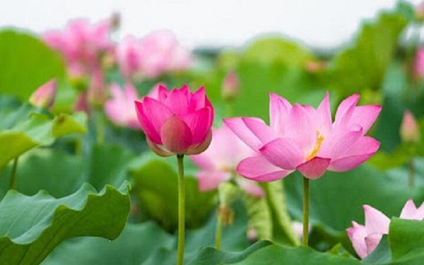 giống hoa sen tứ mùa