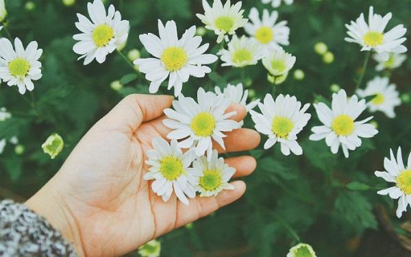 giống hoa cúc họa mi trắng