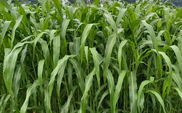 giống cỏ sweet jumbo